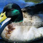 Rogue River Mallard Duck