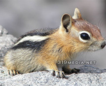 Cute Chipmunk Photo
