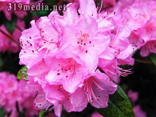 pinkflowers